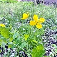 Трава чистотела, ее отвар восстанавливает перистальтику кишечника