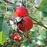Ягоды шиповника, помогают лечить вегето-сосудистую дистонию