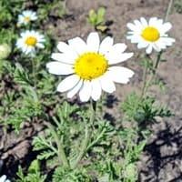 Цветы полевого вида растения похожи на аптечную ромашку, но для лечения их не собирают