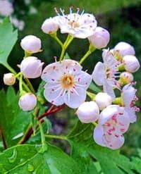 Расцветает боярышник