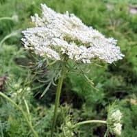 Цветущая морковь - сухую траву используют народные методы лечения гипертонии