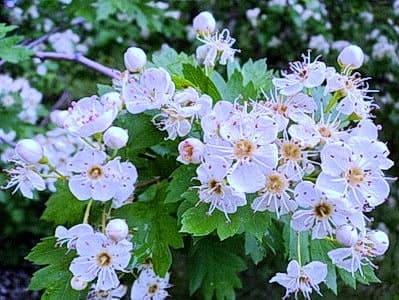 Цветет боярышник