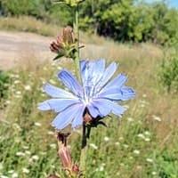 Голубой цветок цикория