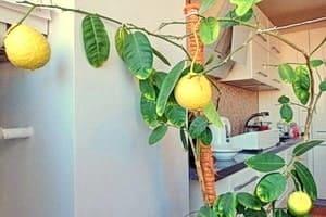 Лимонное дерево в квартире — сплошная польза!