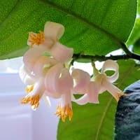 Лимон цветет. Польза, когда в квартире цветет лимонное дерево, удивительный аромат!