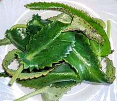 Листья каланхоэ от кашля