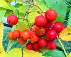 Рябина красная — настойка ее на водке имеет удивительные полезные свойства