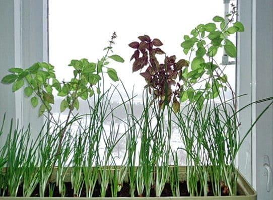 Выращивание базилика на подоконнике зимой