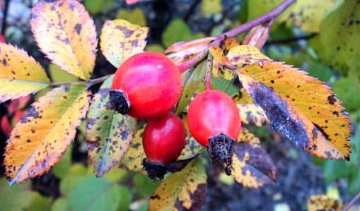 Ветка шиповника с побуревшими листьями
