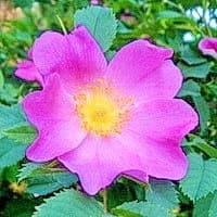 Цветок шиповника, корни, листья и цветки имеют лечебные свойства и очень полезны для организма