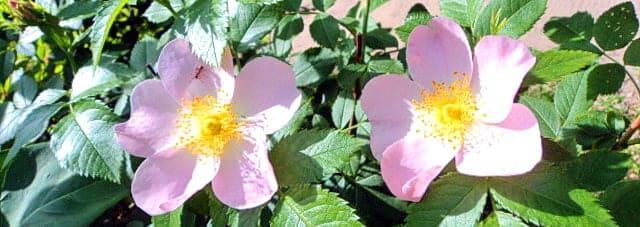 Два цветка шиповника