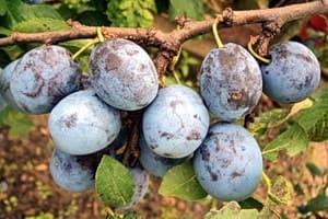 Ветка со спелыми плодами — сливы имеют полезные свойства для организма человека