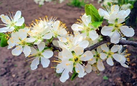 Ветка цветущей сливы