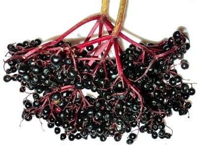 Спелые грозди черной бузины