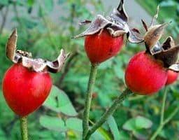 Спелые плоды с оттопыренными чашелистиками