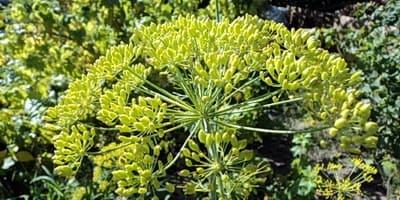 Зонтик зеленых семян укропа