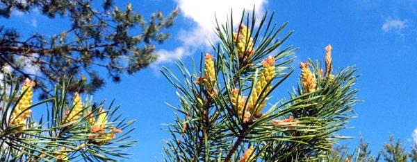 """Ветки """"цветущей"""" сосны на фоне голубого неба"""