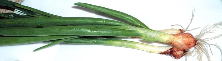 Зеленый лук весьма полезен для организма человека