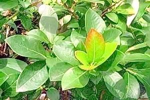 Листья голубики их лечебные свойства и противопоказания обусловлены уникальным химическим составом