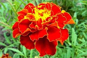 Цветки бархатцев красивы, имеют лечебные свойства, находят широкое применение в народной медицине