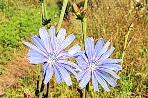 Цветет трава цикорий, ее корни и надземная часть имеют лечебные свойства.