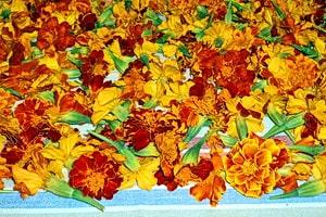 Цветки чернобрывцев разложены для сушки