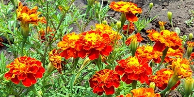 Цветут бархатцы, полезные свойства бархатцев помогают избавиться от многих проблем здоровья, если их правильно заваривать и употреблять