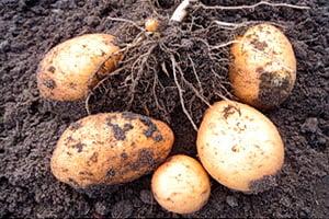 Выкопанные клубни молодого картофеля