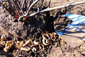 Картофельные очистки под смородину, можно вносить осенью и весной