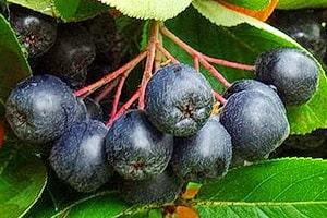 Созревает черноплодная рябина