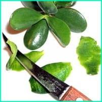 Ножом срезают верхнюю кожицу листа