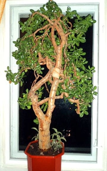 Денежное дерево, ему больше 30 лет