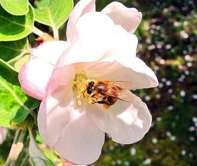 Пчела собирает нектар, полезные свойства меда для организма человека очень важны