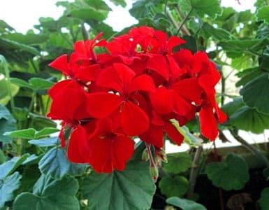 Красная герань. У листьев красной комнатной герани самые сильные лечебные свойства