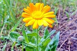 Цветочек календулы