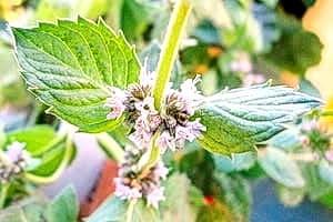 Мелисса — для качества чая важно правильно собирать и сушить траву