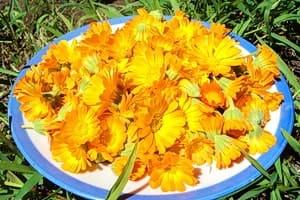 Цветки календулы на тарелке, их собирают все лето