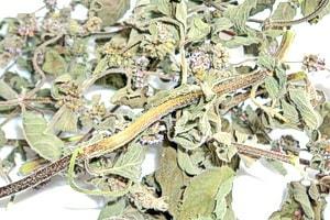 Высушенная трава мелиссы