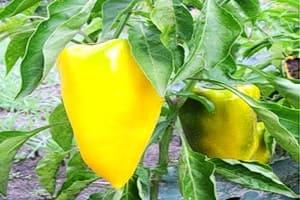Спеет желтый сладкий перец