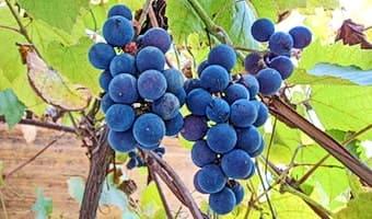 Спеет виноград