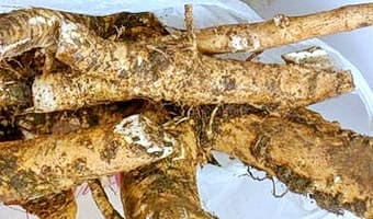 Выкопанные корни хрена