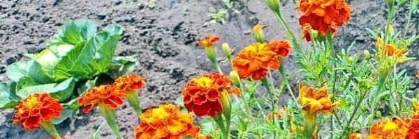 Бархатцы отпугивают многих вредных насекомых от огородных растений