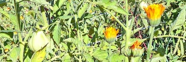 Календула на грядке рядом с помидорами